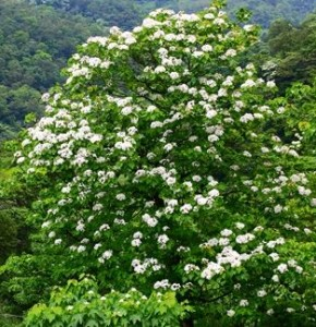 Tung Tree in Blossom